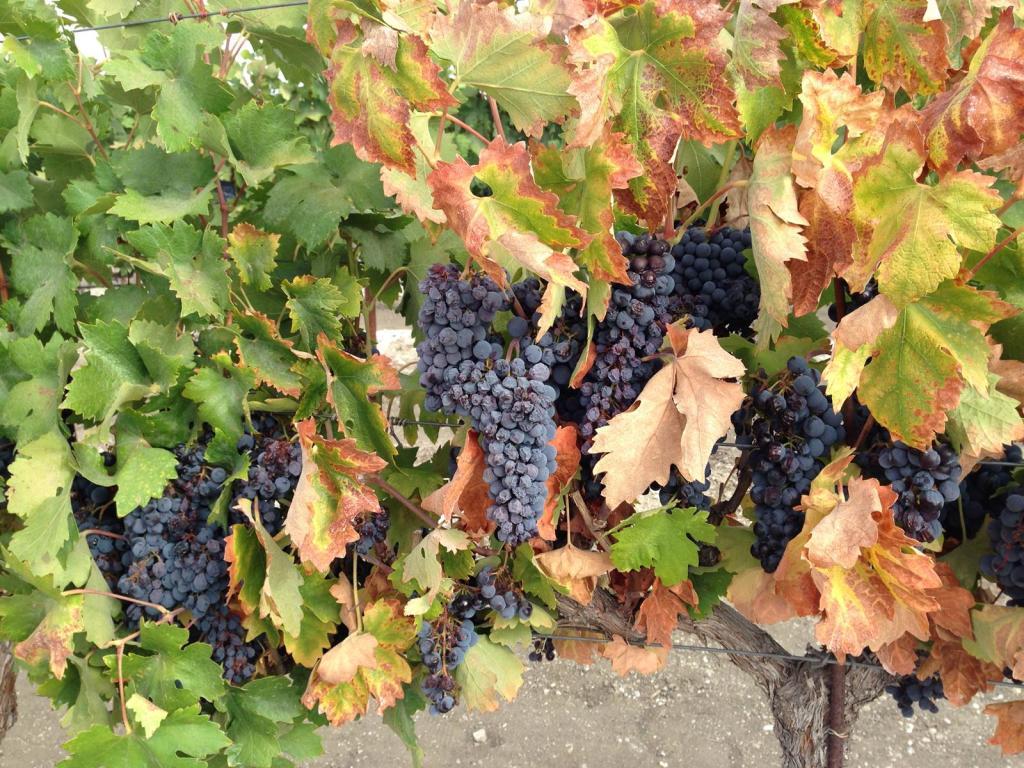 Vines & Fruit